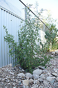 Desert hackberry and prickly pear cactus along fence with its new top screen.