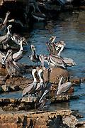 Crowd of Brown Pelicans (Pelecanus occidentalis carolinensis) gathered on rocks at Pacheca Island shore. Las Perlas Archipelago, Panama province, Panama, Central America.