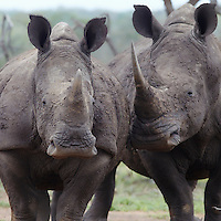 Two rhinoceros walk side by side