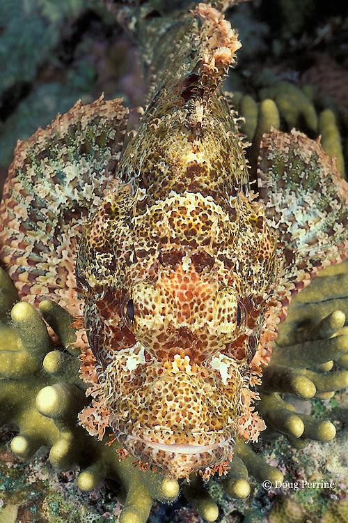 devil or false scorpionfish, Scorpaenopsis diabolus, Kristy Jane Reef, Kimbe Bay, Papua New Guinea ( Bismarck Sea )