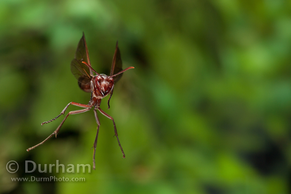 African paper wasp (Belonogaster juncea) photographed with a high-speed camera in Matobo National Park, Zimbabwe.