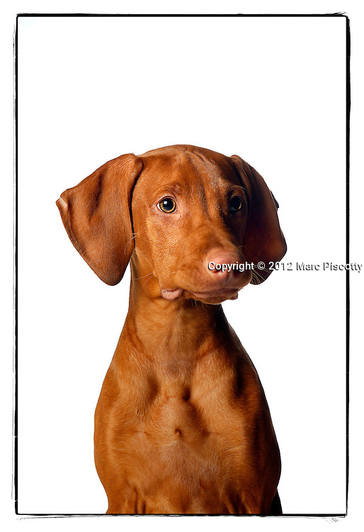 SHOT 12/12/12 4:52:04 PM - Photos of Freckles, a 17 week old male Vizsla, and his owner Lynn Sywyj of Denver, Co.(Photo by Marc Piscotty / © 2012)