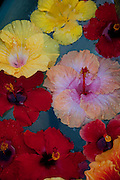 Hibiscus floting on water, Maui, Hawaii