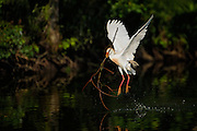 Cattle Egret Taking off with a Stick