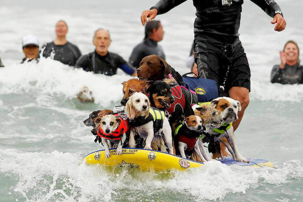 "Hounds Hang 20 at the 7th Annual Loews Dog Surfing Competition at Dunes Park Beach in Imperial Beach, Calif., on Saturday, June 16, 2012. There are four heats in this competition: Small Dogs (40 pounds and under), Large Dogs (41 pounds and over), Tandem and the Ultimate Champion Round (first place winners of heats 1, 2 and 3). Each dog is given 10 minutes to catch waves and their score is determined by their top 2 waves. Waves are scored on confidence level, length of ride and overall ability to ""grip and rip it"". The winner of the Ultimate Champion Round will become the 2012 ""poster dog"" for the Loews Hotel. Entry fee is $50-55 and all profits goto the ASPCA (The American Society for the Prevention of Cruelty to Animals). The event drew over 50 competitive dogs and thousands of spectators from all over the country. In addition to the competitions this years event broke a Guinness Book of World Records for the most amount of dogs surfing on one board at one time (more than 10 dogs)."