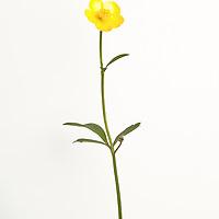 Single yellow flower on white background