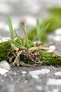 extreme close up of grass and moss growing between the cracks in asphalt pavement