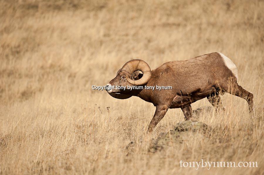 bighorn ram rutting in persuit of ewe wild rocky mountain big horn sheep