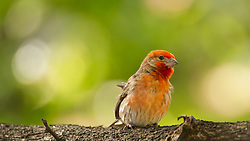 Mr. Purple Finch Perched On A Branch Contrasts Against The Summer Green Foliage From Behind