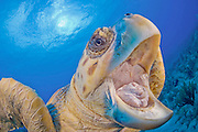 2010 Honorable Mention, National Wildlife Photography Awards Competition; Loggerhead Sea Turtle (Caretta caretta) in Palm Beach County, FL. Florida is home to half of the world's population, and Palm Beach County is a major nesting location.