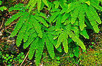 Madenhair fern (Adiantum pedatum) leaves are smooth on the lower margin and has ragged lobes on the upper margin.  Olympic National Park, Washington.