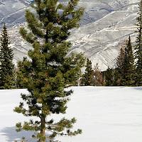 USA, Colorado, Beaver Creek. Scenic pine in snow of the Colorado mountains in winter.