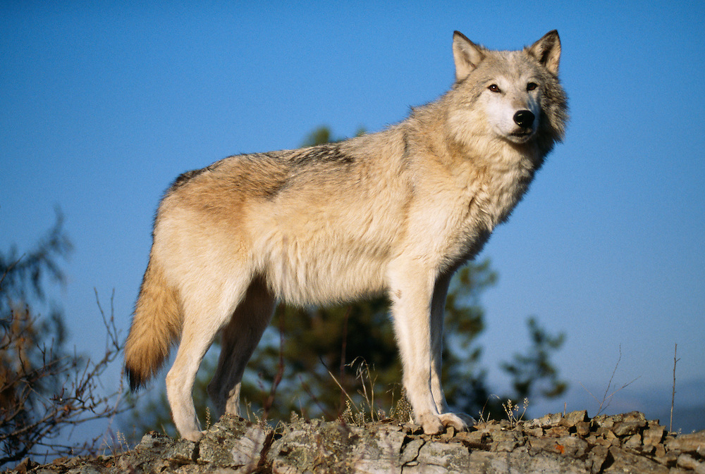Gray Wolf standing on rock, side view