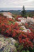The berry bushes on Cadillac mountain are always ablaze in late fall