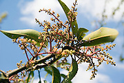 Israel, Mango tree blossoms flowering April 2007