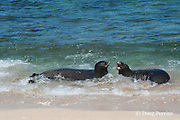 Hawaiian monk seals, Monachus schauinslandi, Critically Endangered endemic species, a 7-year-old male (RI11) on right scuffles with female (R318) on left, at beach on west end of Molokai, Hawaii ( Central Pacific Ocean )