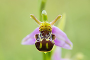 Bee orchid, Ophrys apifera, smiling face-on.