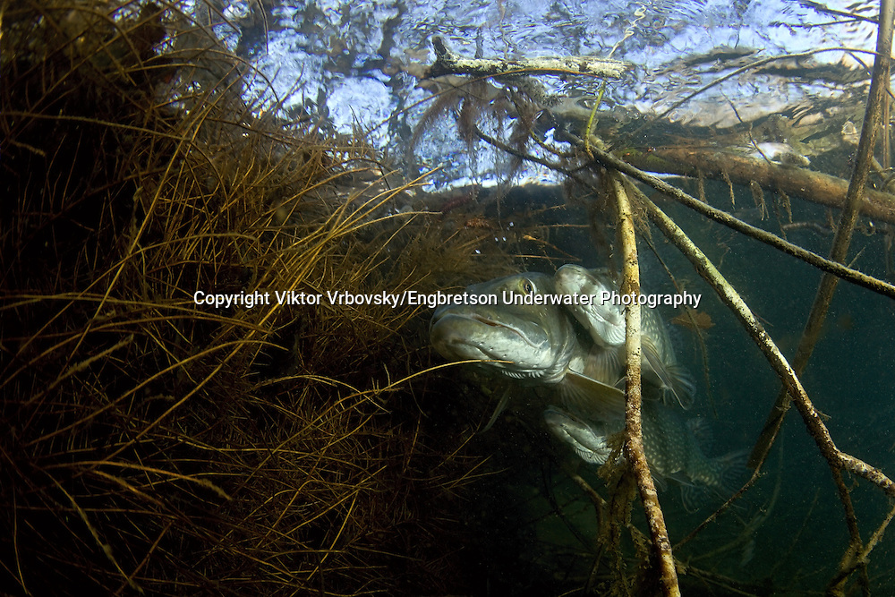 Northern Pike (Spawning)<br />