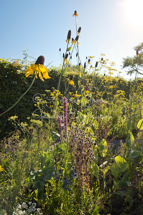 Carpinus betulus (hornbeam) hedge surrounding a border including Rudbeckia maxima (great coneflower), Echinacea paradoxa Gold Nugget (Ozark yellow coneflower), Patrinia scabiosifolia (Golden valerian, Golden lace), Liatris pycnostach (prairie blazing star) and Eryngium planum 'Blaukappe' (sea holly 'Blaukappe')<br /> <br /> <br /> IGA Berlin 2017, 'The Garden of Vulcan'<br /> Design: Tom Stuart-Smith Ltd