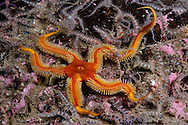 Black brittle-star (brittlestar) (Ophiocomina nigra), yellow/ brown colour variety, with Common brittlestars (Ophiothrix fragilis), on brittlestar bed, <br /> Scotland: Berwickshire, St Abbs (St Abbs and Eyemouth Voluntary Marine Reserve), October
