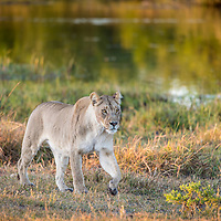 Female lion at sunrise