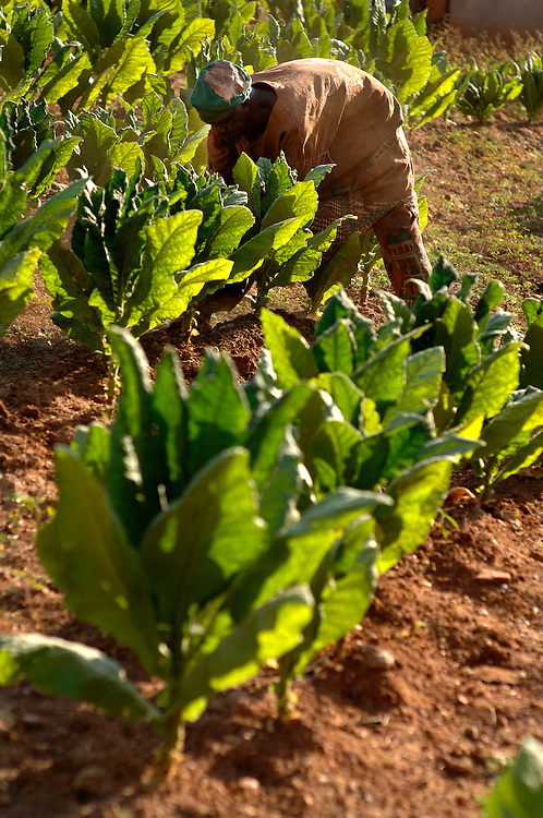 Natitingou November 2006 - Tobacco farmer inspects the plants in his field.