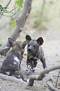 African Wild Dog<br /> Lycaon pictus<br /> 6 week old pups playing<br /> Northern Botswana, Africa<br /> *Endangered species