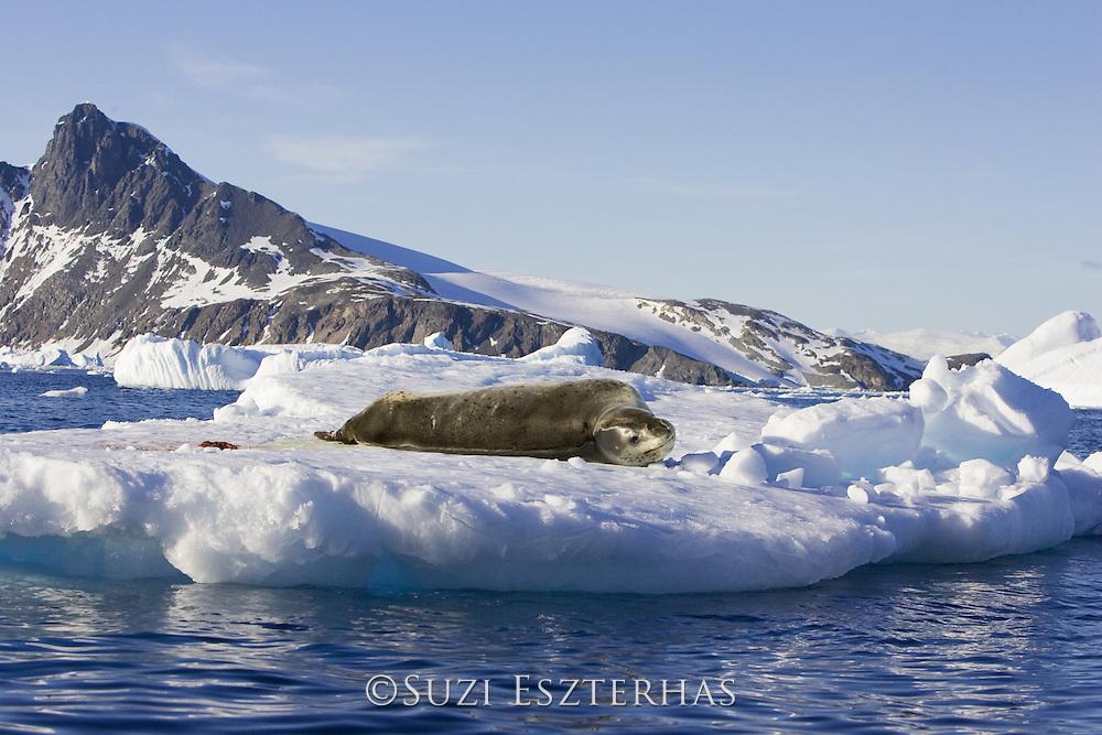Leopard Seal <br /> Hydrurga leptonyx<br /> Cierva Cove, Antarctic Peninsula