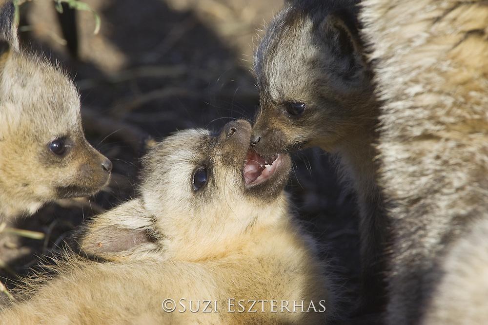 Bat-eared fox<br /> Otocyon megalotis<br /> 5 week old pup(s) playing<br /> Masai Mara Reserve, Kenya