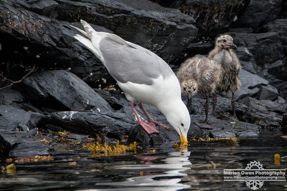 Glaucous-winged gull demonstrates life skills to chicks