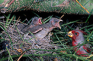 Pyrrhuloxia, Cardinalis sinuatus, male, feeding young