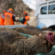 TOMIOKA TOWN, JAPAN - MARCH 30 : Wild boars killed by a pellet gun are seen in truck while members of Tomioka town's animal control hunters group set-up a booby trap for the wild boar at a residential area near Tokyo Electric Power Co's (TEPCO) tsunami-crippled Fukushima Daiichi nuclear power plant in Tomioka town, Fukushima prefecture, Japan, March 30, 2017. (Photo by Richard Atrero de Guzman/NUR Photo)