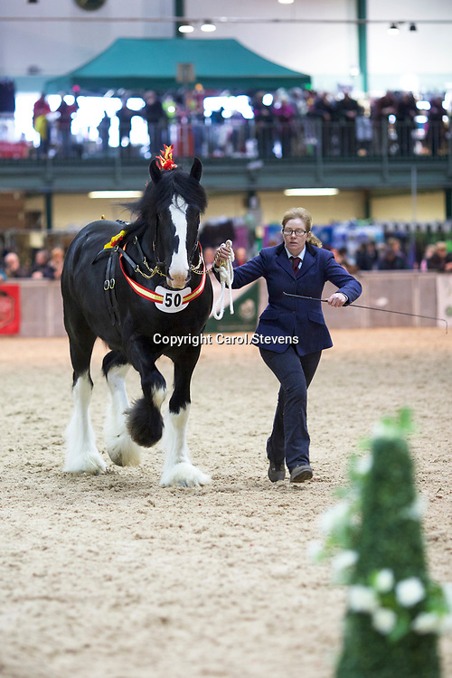 Shire Horse Society Spring Show 2017 2year Old Stallions