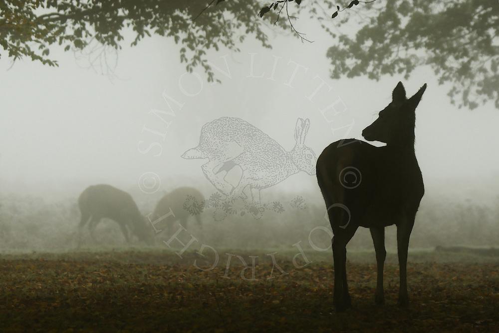 Red Deer (Cervus Elephus) Doe watching two males.
