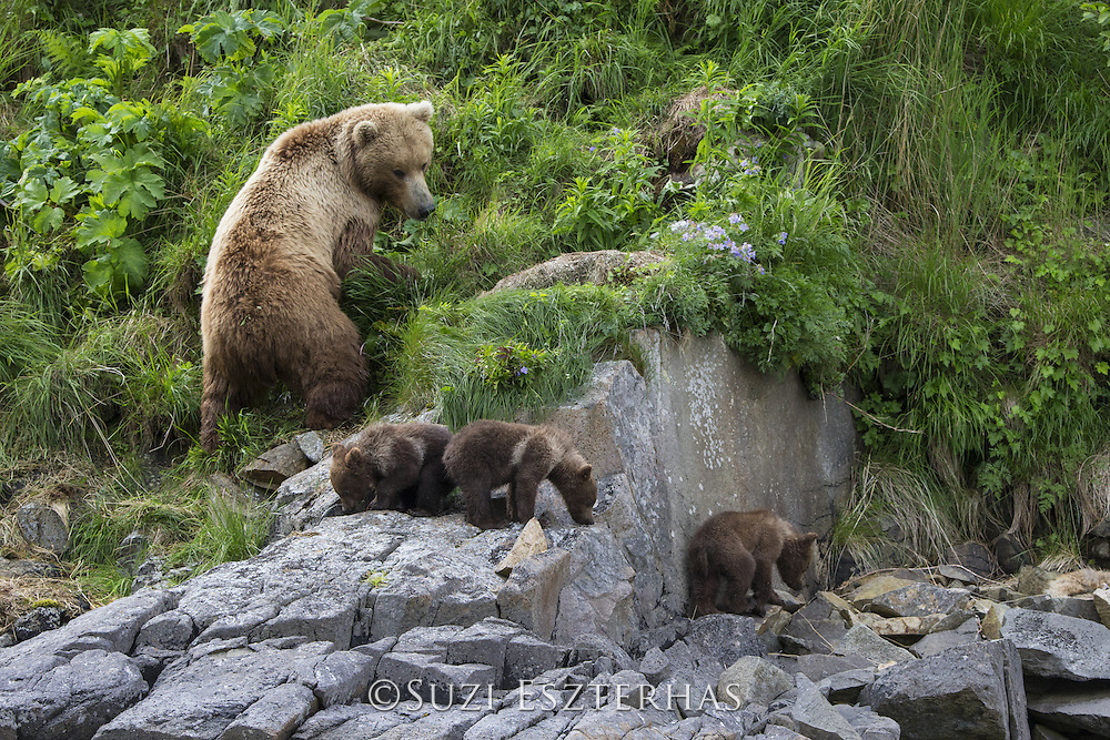 Brown Bear<br /> Ursus arctos <br /> Mother and 3-4 month old cubs<br /> Katmai National Park, AK