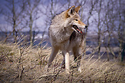 Portrait of a Coyote (Canis latrans) in alpine grassland, Montana.