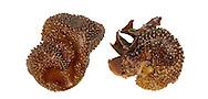 Furbellows Holdfast - Saccorhiza polyschides