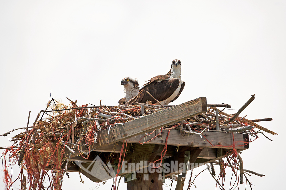 On an overcast day two Ospreys tend to their young in a manmade nesting platform lined with sticks and bailing twine from old hay bales.