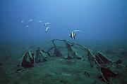 "Moorish idol (Zanclus cornutus) in the Lembeh Strait - The moorish idol, Zanclus cornutus (""Crowned Scythe""), is a small perciform marine fish, the sole representative of the family Zanclidae (from the Greek zagkios, ""oblique"")."