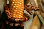 DEU, Deutschland: Schlange, junge Kornnatter (Pantherophis guttatus) an einem Maiskolben, in den USA findet man sie oft in Maisfeldern und in Silos, nicht wegen dem Mais sondern weil sie dort Mäuse jagen | DEU, Germany: Snake, young Corn snake (Elaphe guttata) on a cob of corn, in USA often seen in cornfields and silos, not because of the corn but because of hunting mice |