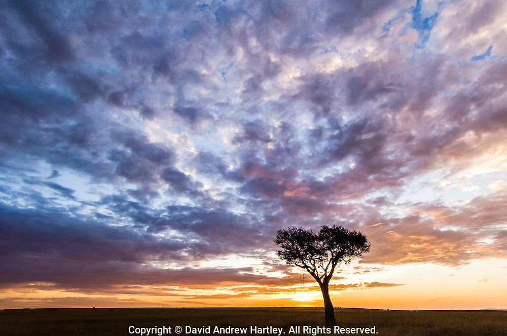 Acacia tree at sunrise, Masai Mara National Reserve, Kenya