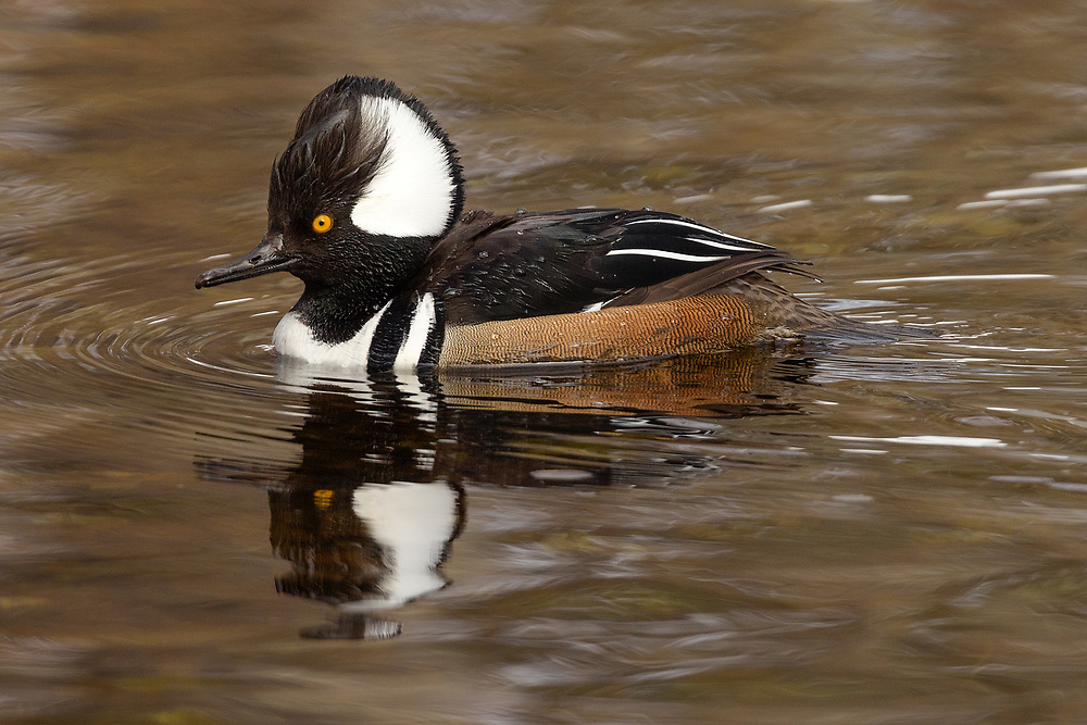Hooded Merganser (male), Somesville, Maine
