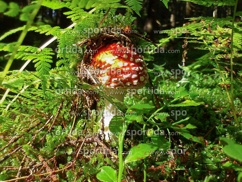 19.08.2011, Pack, AUT, Feature, im Bild ein giftiger Fliegenpilz im moosbedeckten Wald, EXPA Pictures © 2011, PhotoCredit: EXPA/ Erwin Scheriau