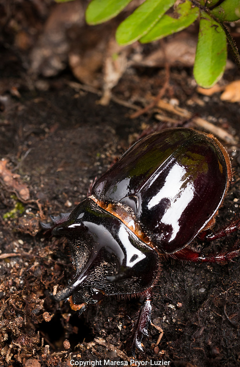 Major Ox,  Elephant, or Hercules beetle showing horns, Strategus aloeus, wild, Florida
