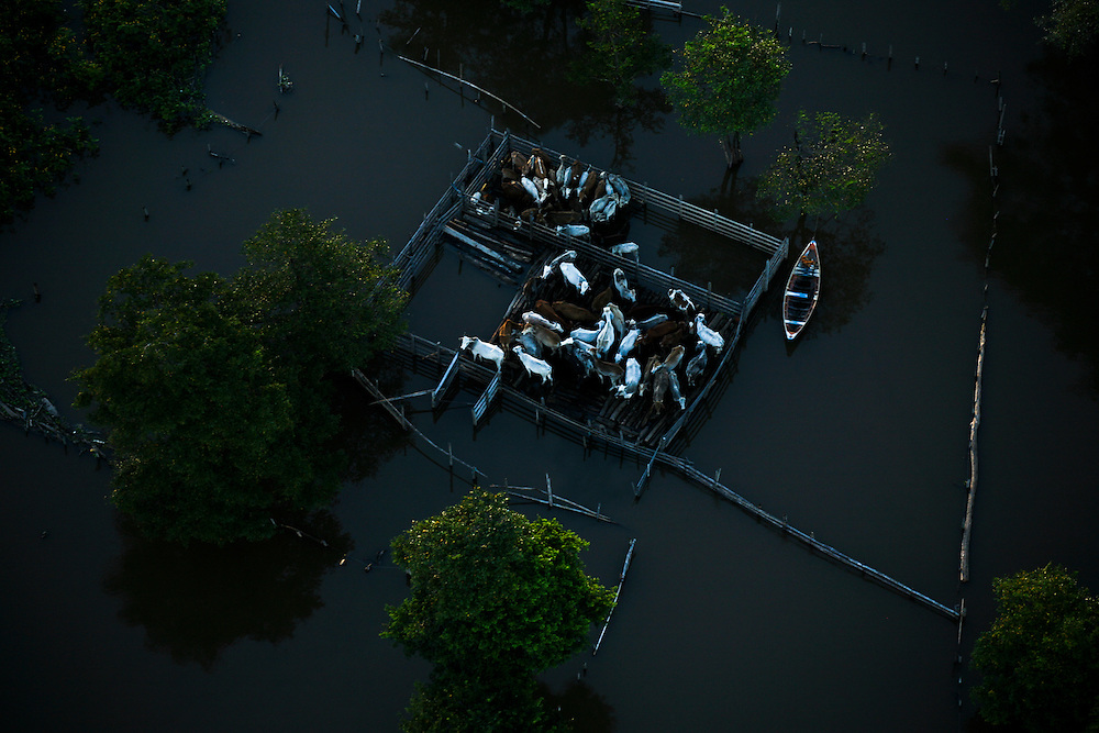 May 21st 2006. Santarem (Para State, Brazil). Cattle cluster together in a holding pen 14 miles NE of Santarem. All over the Amazon and Para States house were flooded during one of the worst flooding ever recorded in the region.