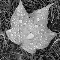 Black and White Leaf with Rain drops.