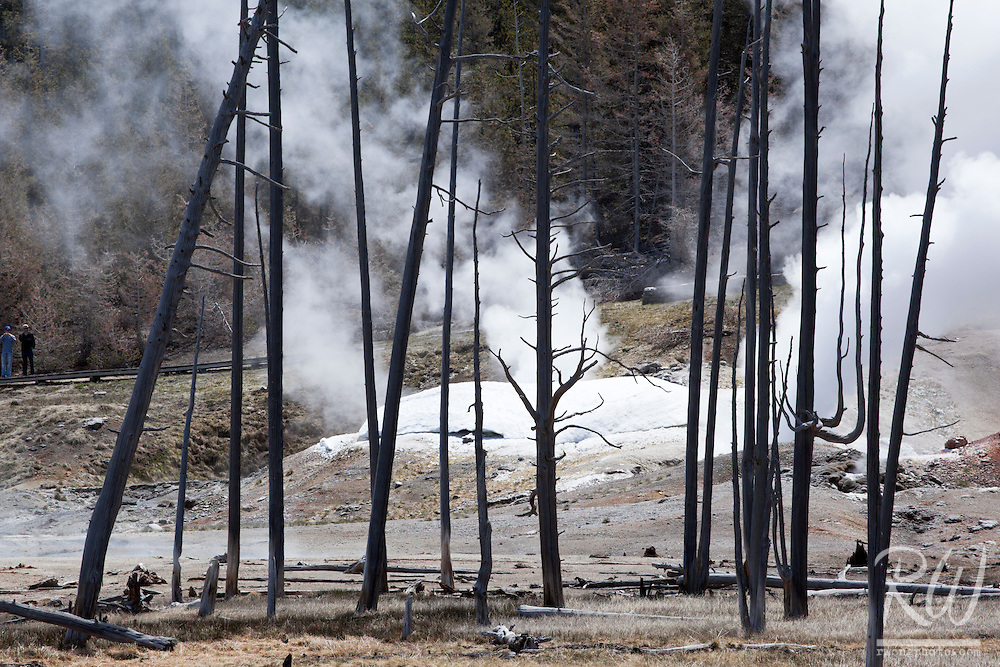 Dead Trees and Black Growler Steam Vent at Norris Geyser Basin, Yellowstone National Park, Wyoming