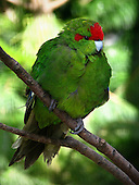 Red-crowned Parakeet (Kakariki) Pictures - Photos