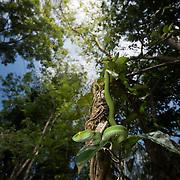 Large-eyed Pit viper (Trimeresurus macrops) female in Pak Chong, Nakhon Ratchasima, Thailand