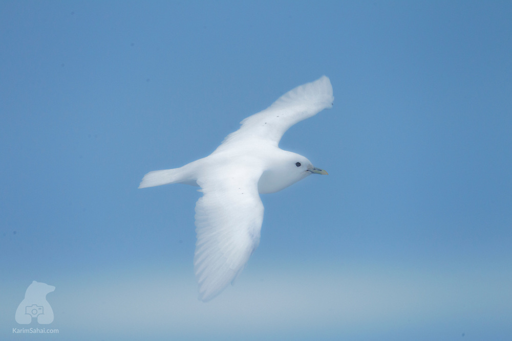 "An ivory gull (Pagophila eburnea) glides gracefully in the clear sky north of Spitsbergen, Svalbard. With its distinctive all white plumage, the ivory gull easily blends in with the icy surroundings when not in flight. Seeing this unique bird in the wild is an exciting prospect for wildlife enthusiasts, as this is a declining species due to environmental factors such as ice thickness and distribution. The ivory gull can primarily be observed in the Arctic seas and pack ice of northern Russia, Greenland, Canada, Svalbard and Jan Mayen. In Svalbard, the population is estimated to number 200. The Ivory Gull is classified by the International Union for Conservation of Nature as ""Near Threatened""."